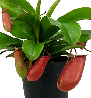 Lady Luck Red Asian Pitcher Plant - Nepenthes - Carnivorous - 4