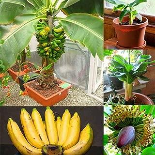 Mifutu Seed Sand Plants-Rare Dwarf Banana Tree Seeds Mini Bonsai Fruit Exotic Home Garden Plants