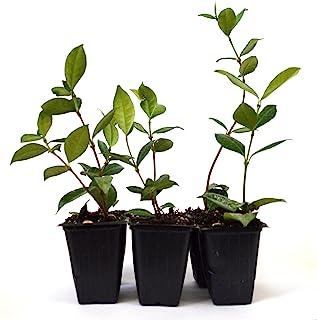 Jqsmine Seeds
