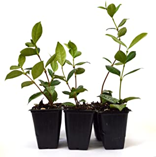 Best jasmine tea seeds Reviews
