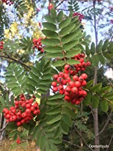 HOT - Rowan Hunter Sorbus Aucuparia 250 Seeds Seeds