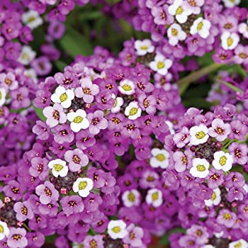 Burpee Royal Carpet Alyssum Seeds 2500 seeds