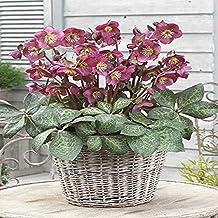 Perennial Farm Marketplace Helleborus x Frostkiss 'Anna's Red' (Lenten Rose) Perennial, Size-#1 Container, Mauve Purple Fl...
