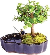 Brussel's Bonsai Live Dwarf Jade Indoor Bonsai Tree in Zen Reflections Pot - 3 Years Old; 8