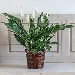 White Flower Farm Peace Lily 'Domino' (Spathiphyllum) in a Woven Basket