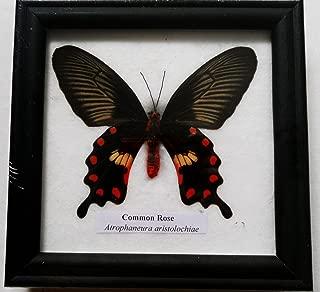 rare framed butterflies