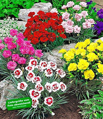 BALDUR Garten Prachtmischung 'Duft-Gartennelken', 5 Pflanzen Dianthus winterhart