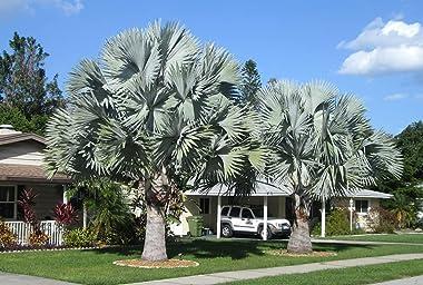 Silver Bismarck Palm - Live Plant in a 6 Inch Growers Pot - Bismarckia Nobilis - Rare Ornamental Palms of Florida