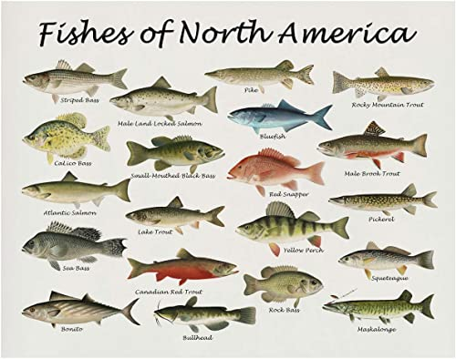 Fishes of North America Beautifully Restored Art Print - 11x14 Unframed Wall Art - Gift for those passionate about Na...