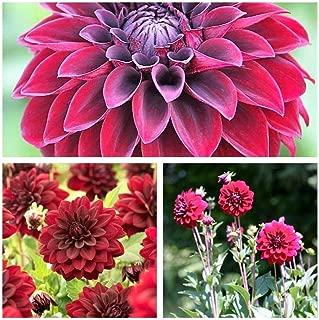 2 Dahlia Arabian Night Deep Red Color Flower Bulb Perennial Summer Blooming TkHoms36