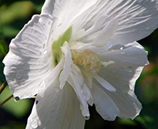 White Chiffon Hibiscus syriacus 'Notwoodtwo' - Rose of Sharon - Proven Winner