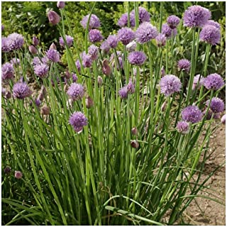Everwilde Farms - 1/4 Lb Chives Herb Seeds - Gold Vault
