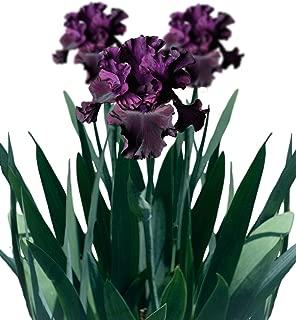 Reblooming Bearded Iris Ozark Rebounder - 1 Large Rhizome | Ships from Easy to Grow TM