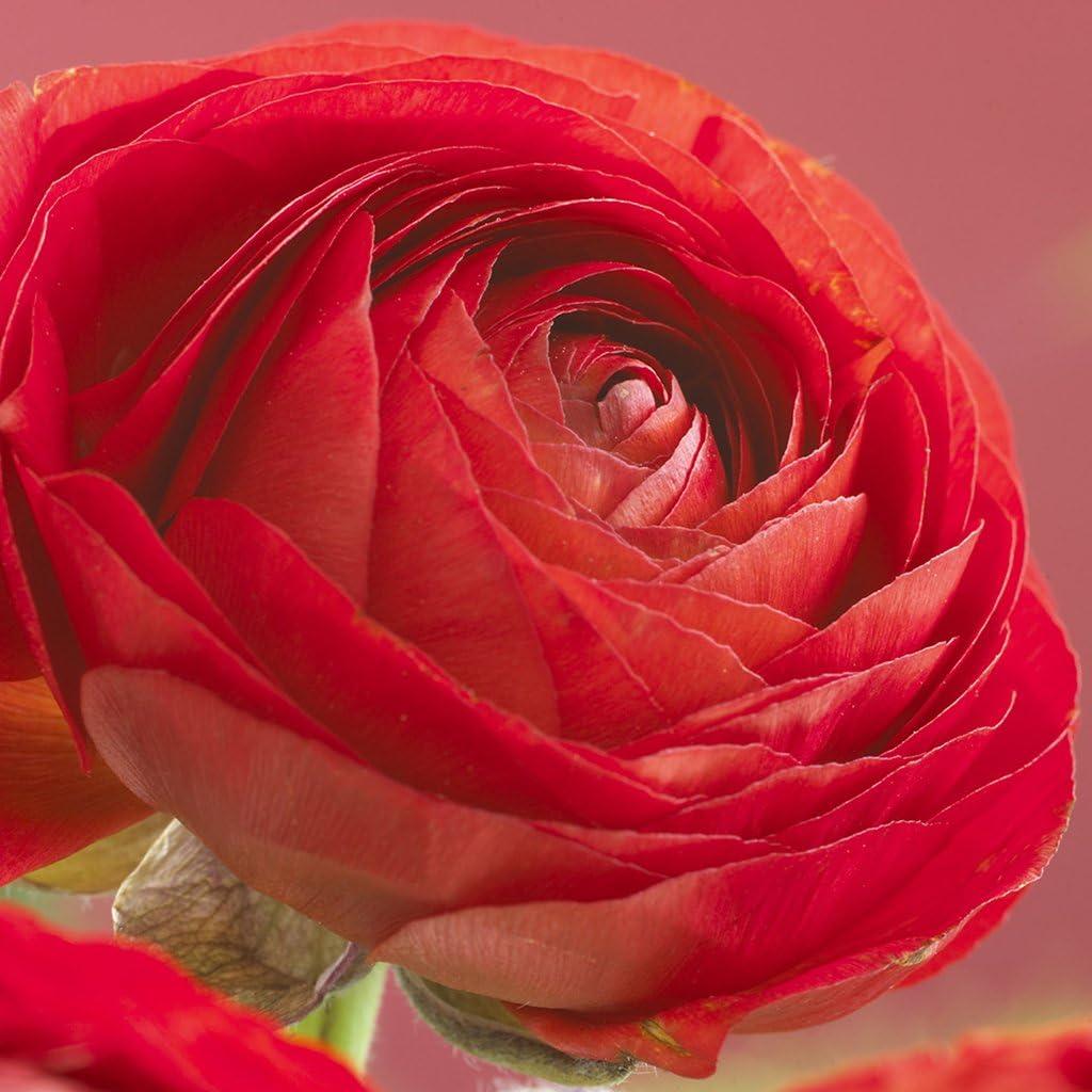 Van Zyverden Butter Cups Ranunculus Double Red Set of 25 Bulbs