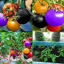 100 pcs Non GMO Heirloom Seeds Rainbow Tomato Plant Seeds Organic Vegetable Seeds For Planting