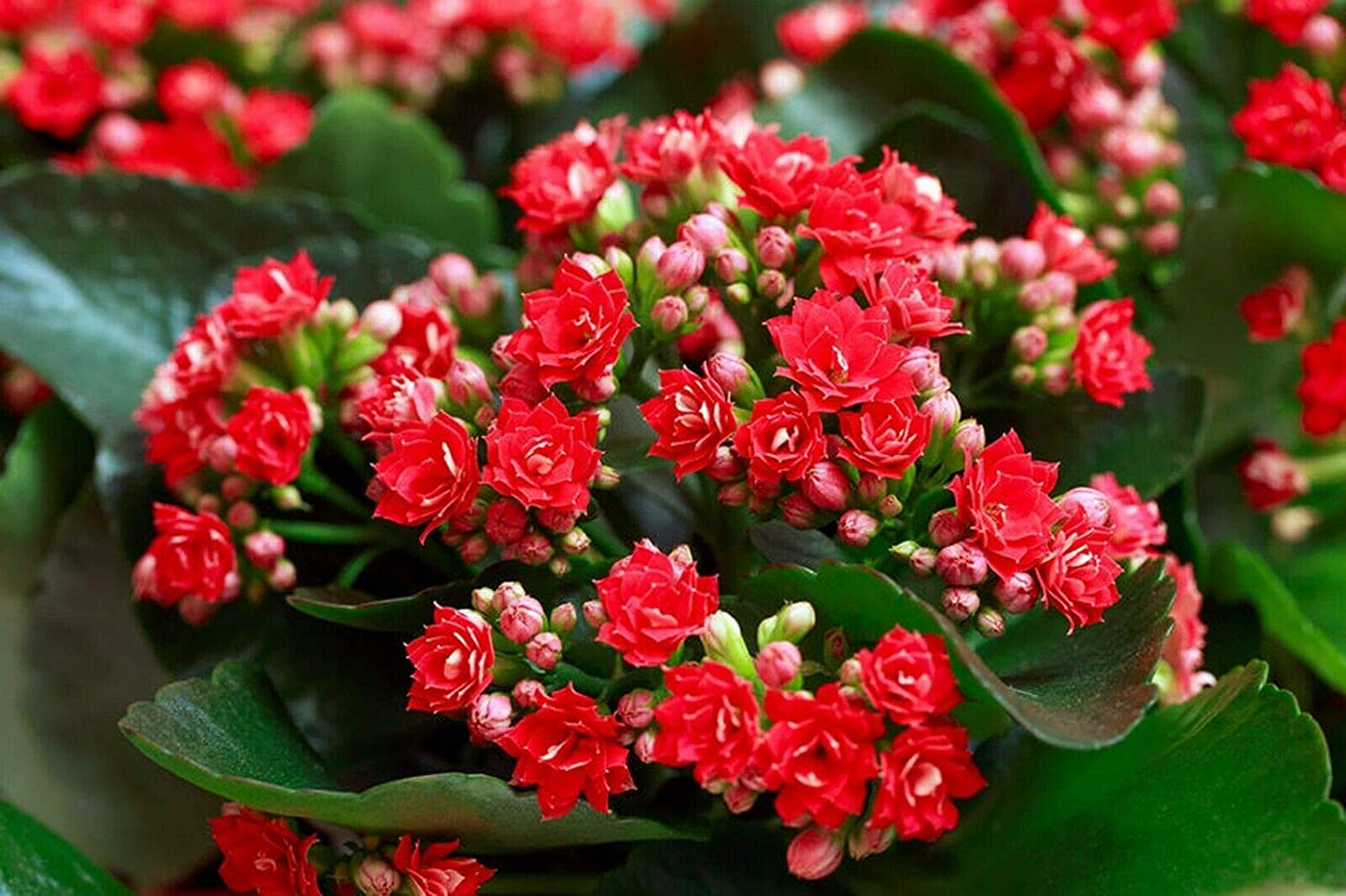 SmartMe Red Seasonal Wrap Introduction kalanchoe Blossfediana Live and Plants Seed - Discount is also underway