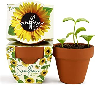 Buzzy Seeds Terra Cotta Minis 12-Pack - for Weddings, Parties, Events, Modern, Trendy, Unique and Fun Gardening Favors and Gifts - Growth Guaranteed! (Sunflower)