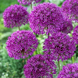 giant purple sensation allium