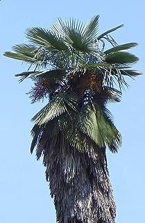 【観葉植物/種子】Trachycarpus ★シュロ◎棕櫚、棕梠、椶櫚/排水良好な土地を好み、乾湿、陰陽の土地条件を選ばず、耐火性、耐潮性も併せ持つ強健な樹種◆5粒♪ (Takil) [並行輸入品]