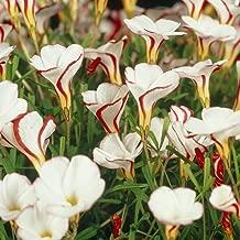 Van Zyverden Oxalis Versicolor Set of 10 Bulbs