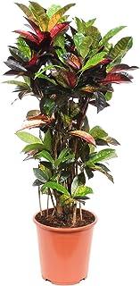 Planta de interior de Botanicly – Croton – Altura: 100 cm – Codiaeumvariegatum Mrs Iceton