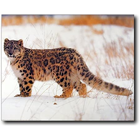 Snow Leopard Big Cat Wildlife Animal Wall Decor Art Print Poster 16x20