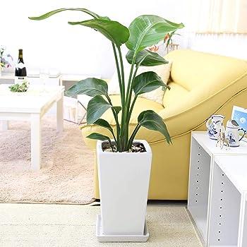 【ブルーミングスケープ】オーガスタ 7号 ホワイトスクエア陶器鉢+陶器製鉢皿付き 「ストレート」 飾りやすく存在感もある中型サイズの観葉植物 …