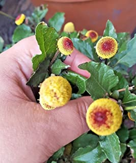TOOTHACHE EYEBALL PLANT BUZZ BUTTONS Spilanthes Oleracea Flower 50 Seeds