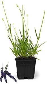 Lavender Grosso Herb - Perennial - Available on Different Sizes (1 Plant 1Qt Size Pot)