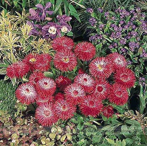 21 Tipos de semillas de flores, Bellis perennis 50 semillas / paquete, Bonsai margarita Raras Jardín Perenne # NF577