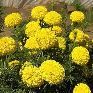 200 Stücke Ringelblume Samen Bonsai Chrysantheme Blume Gartenpflanze Garten Decor Gelb Blau Farbe