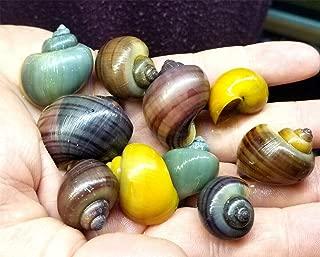 Siam Live Aquarium 10 Assorted Colors Mystery Snails!