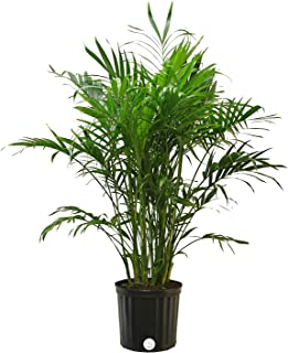 Costa Farms Cat Palm, Chamaedorea cataractarum, Live Plant, in Grower Pot, 3-Feet Tall