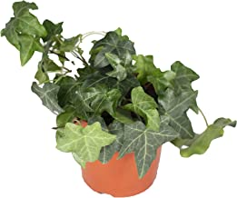 """California Ivy Hedera Helix (Mint Ivy) - 4"""" from California Tropicals"""