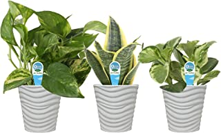 Costa Farms Clean Air 3-Pack O2 for You Live House Plant Collection, White Decor Planter, Assorted Foliage, 9-Inches Tall