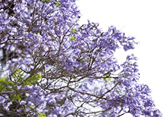 Jacaranda Tree Seeds UPC 695928802289 + 2 Free Plant Markers (75)