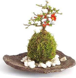 年に数回可憐な花が楽しめます。名前も縁起がいいでしょ?【紅長寿梅(べにちょうじゅばい)の苔玉(こけだま)・くらま岩器・敷石セット】 (敷石の色(白石))