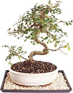 Brussel's Live Chinese Elm Outdoor Bonsai Tree - 9 Years Old; 10