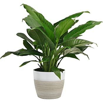 Amazon Com Costa Farms Calathea Network Trending Tropicals Collection Live Indoor Plant 12 Inches Tall Ships In White Ceramic Garden Outdoor