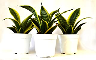 9Greenbox Superba Robusta Snake Plant, 15.9 Ounce (Pack of 3)