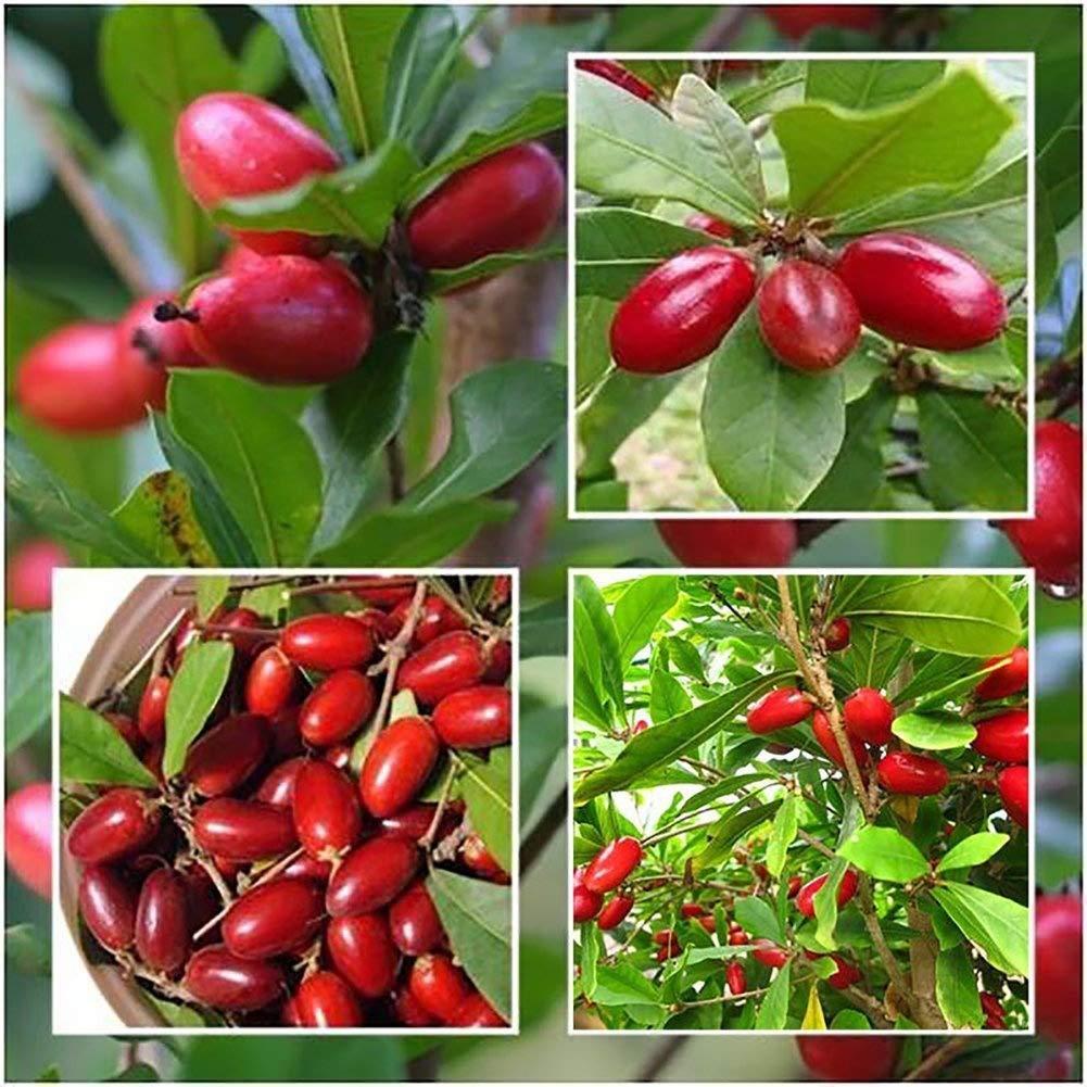 Wintefei - 20 semillas de Dulcifico para jardín, plantas al aire libre: Amazon.es: Jardín