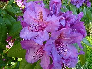 Best rhododendron lee's dark purple Reviews