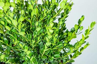 Perfect Plants wintergreen bush boxwood, 1 gallon, Includes Plant Food
