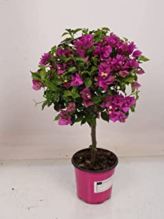 Flor de Botanicly – Flor de Papel – Altura: 75 cm – Bougainvillea glabra Alexandra