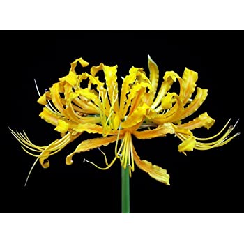- Bulbs Golden Spider Lily Yellow Lycoris Aurea 2 Bulbs