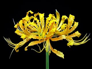 Golden Spider Lily Bulb - Lycoris aurea - Surprise Lily - 10/12 cm