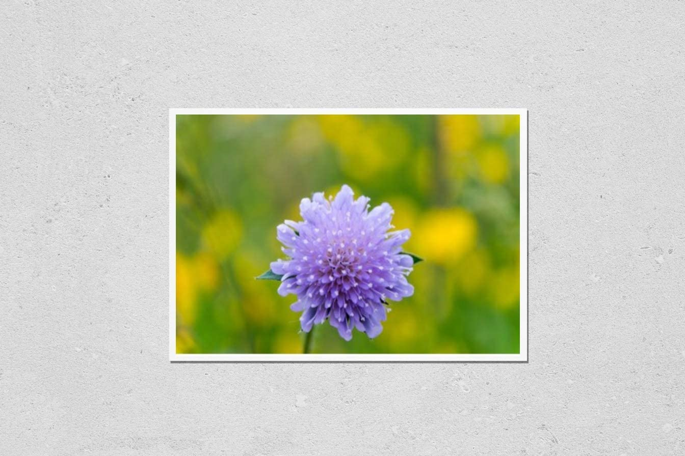 KwikMedia Poster Reproduction of Close-up of Pincushion Flower S