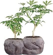 Brussel's Live Hawaiian Umbrella Indoor Bonsai Tree in Rock Pot (2 Pack) - 5 Years Old; 5