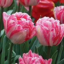 Burpee Foxtrot Tulip | 10 Large Flowering Fall Bulbs for Planting, Pink & Rose