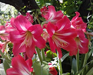 1 BulbNEW AMARYLLIS HOT LIPS / Mini S. African Bulb / Cherry Pink with white center